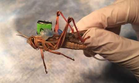 Kukaiņi-kiborgi, kas spēj meklēt sprāgstvielas
