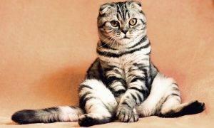 Aplikācija kaķu valodas atpazīšanai